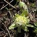 Petasites alba en fleurs  (4)