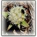 Petasites alba en fleurs