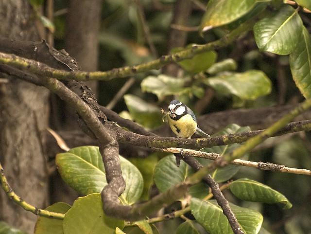 Herrerillo común (Parus caruleus)