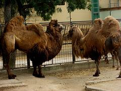Zoo Garden of Lisbon, camels (1)