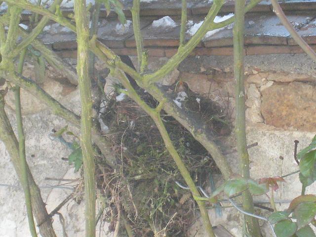 Merle au nid, oeufs au chaud