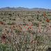 Ocotillo Blooms (0505)