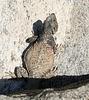 Tahquitz Canyon Lizard (1791)