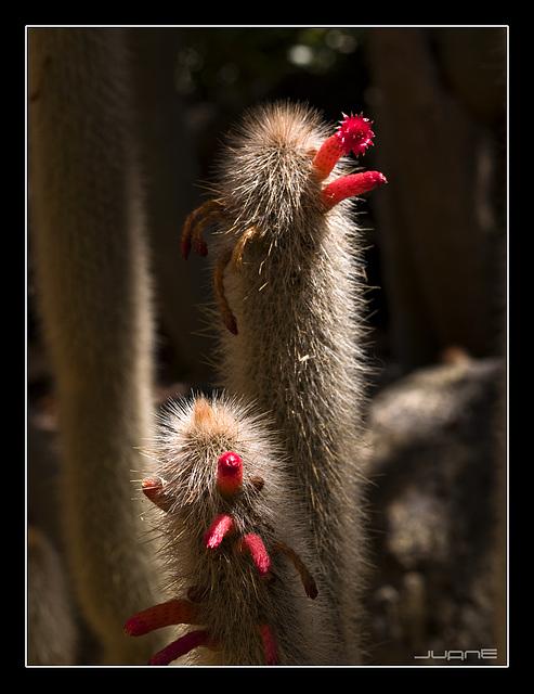 Cleistocactus Straussi Hibridus