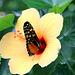 Schmetterling + Hibiskus