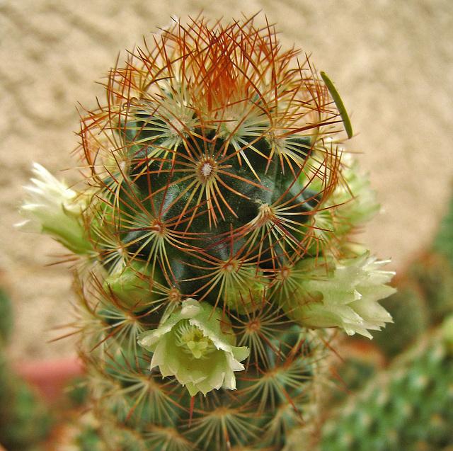 Cactus Flowers (0738)