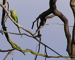 Parakeet in the park