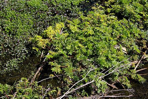 Chaerophyllum hirsutum- Apiacée