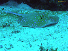 Blue point ray, Red Sea