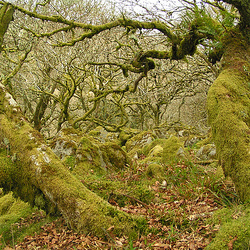 Dartmoor - Magic Forest