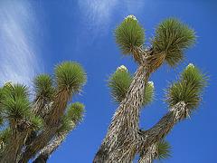 Joshua Tree (0639)