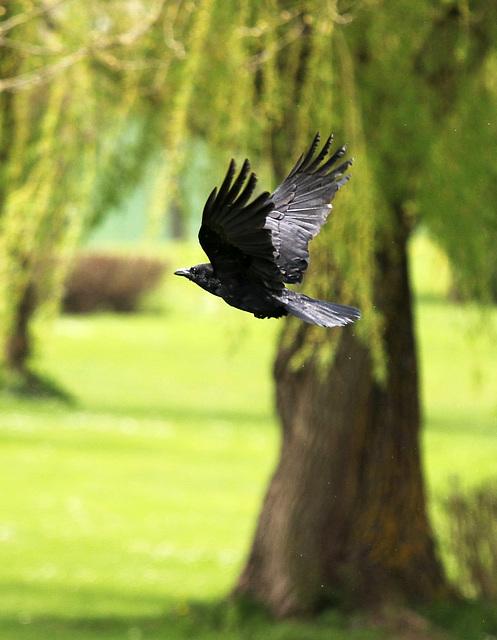 Rabenvogel