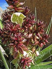 Yucca Bloom (0631)