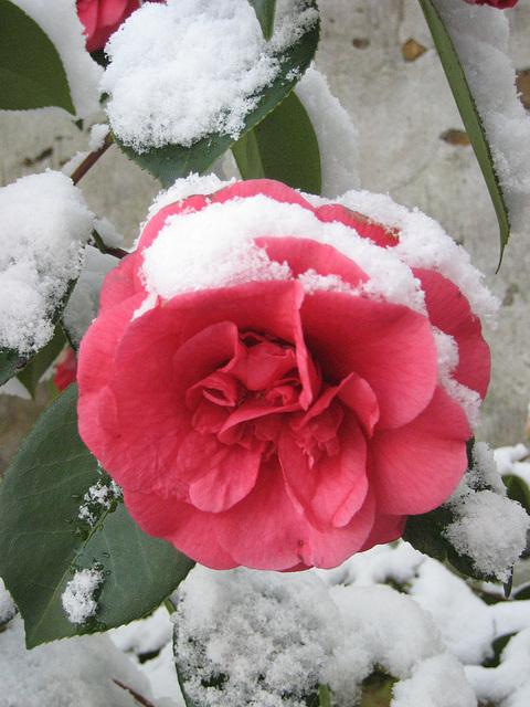 Camélia en neige