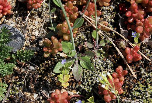 Arabidopsis thaliana- rosette de feuilles basales