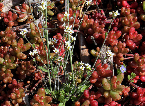 Arabidopsis thaliana - Arabette des dames