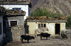 Tsele houses with its domestic animals