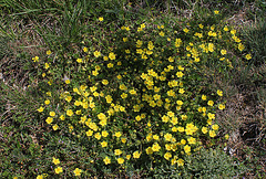 Potentilla verna - Potentille de printemps