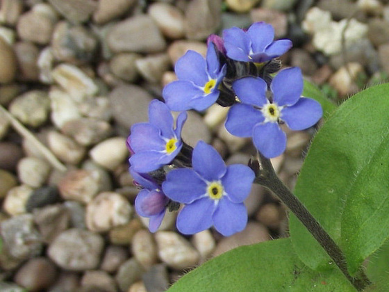 Forget-me-nots still finding strange places to grow
