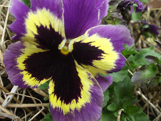 These pansies are amazing, they come up year after year