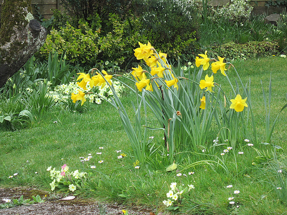 So many primroses and daffodils