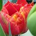A gorgeous orange/yellow tulip