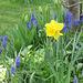 Grape hyacinths are a wonderful contrast around the daffodil