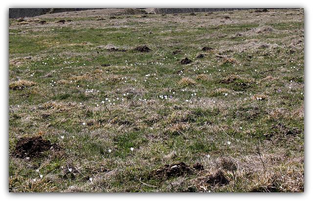 Prairie émaillée de crocus .. Crocus vernus