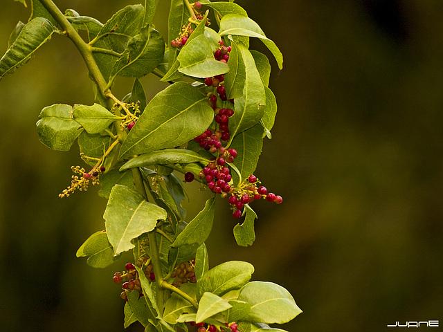 Bosea yervamora berries