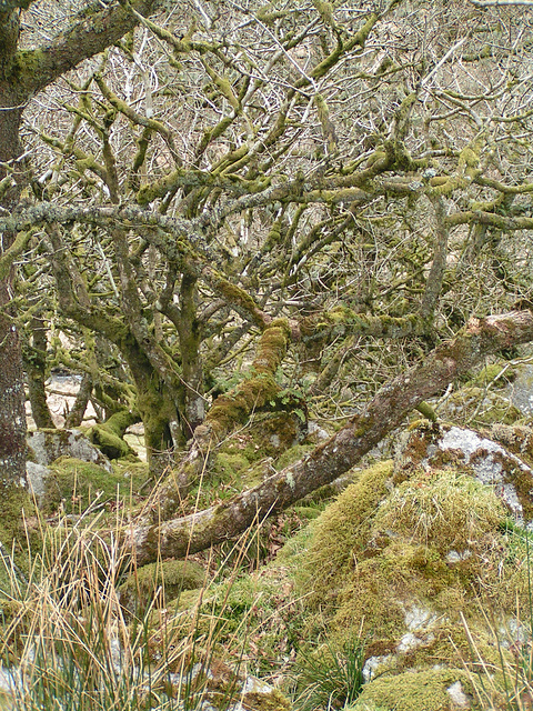 Dartmoor - Magic Forest