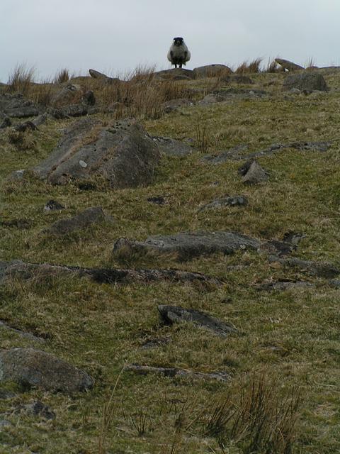 Dartmoor - Boss Sheep