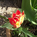The gorgeous orange tulip almost out