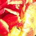 The orange tulip is so pretty