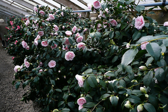 Kamelienblüten - Glashäuser