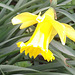 Another daffodil deciding to bloom