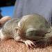 Kangaroo Rat Pup (0535)