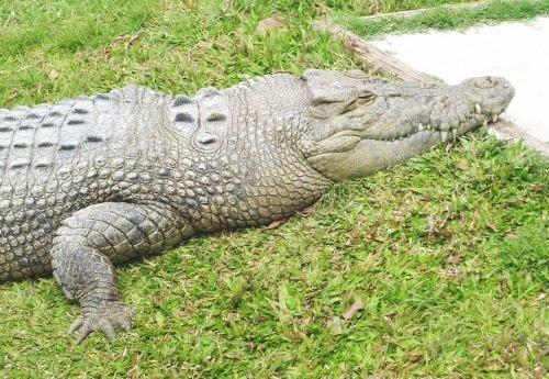 Krokodilo sur herbejo