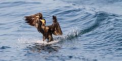 Le cormoran surfer