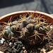 Gymnocalycium pflanzii ssp albopulpa (2)