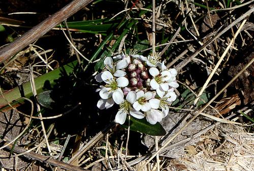 Noccaea caerulescens-Tabouret des Alpes- Tabouret bleuâtre