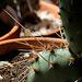 Opuntia phaecantha v. camanchica