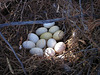 Waterfowl Eggs of Gilbert Arizona (4388)