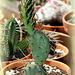 Opuntia camanchica