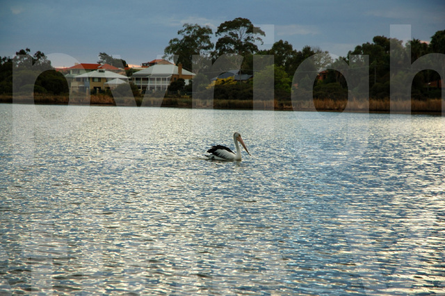 pelican swimming on the lake
