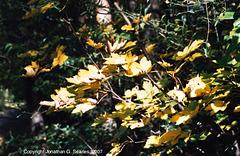 Maple Leaves, Milichovsky Les, Haje, Prague, CZ, 2007