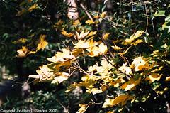 Maple Leaves, Picture 2, Milichovsky Les, Haje, Prague, CZ, 2007