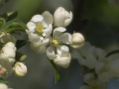 Cherry tree III