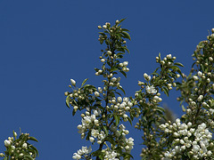 Cherry tree I