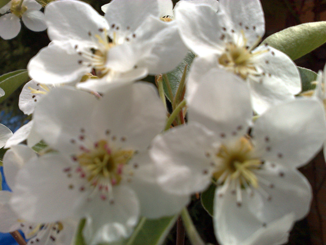 Flores de peral.