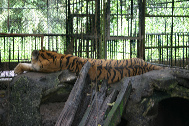 Tigre du Surname